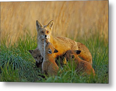 Mother Fox And Kits Metal Print by William Jobes