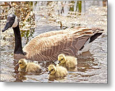 Mother Goose And Goslings Metal Print by Natural Focal Point Photography