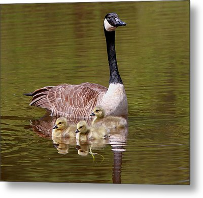 Mother Goose With Baby Geese Metal Print by Edward Kocienski