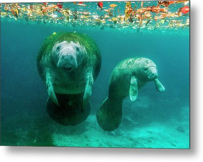 Mother Manatee With Her Calf In Crystal Metal Print