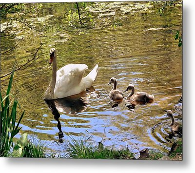 Metal Print featuring the photograph Mother Swan And Cygnets by Janice Drew