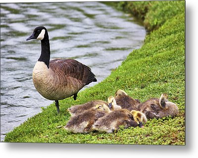 Mother With Goslings Metal Print by Jason Politte