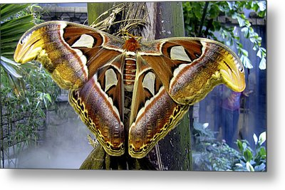 Atlas Moth Metal Print