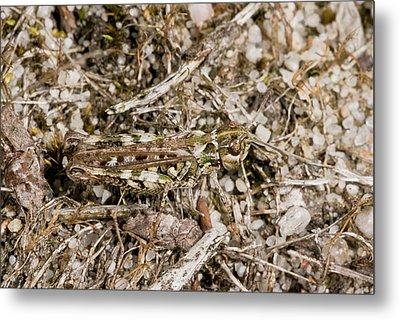Mottled Grasshopper Metal Print