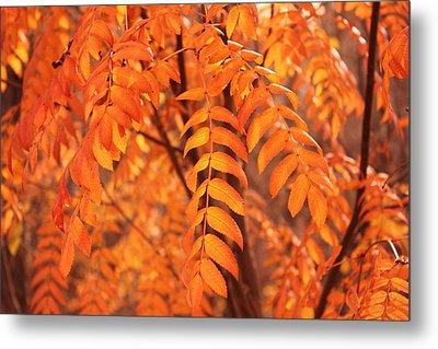 Mountain Ash Leaves - Autumn Metal Print by Jim Sauchyn