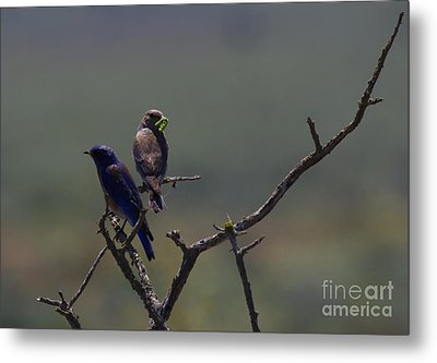 Mountain Bluebird Pair Metal Print by Mike  Dawson