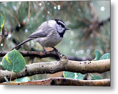 Mountain Chickadee On A Rainy Day Metal Print
