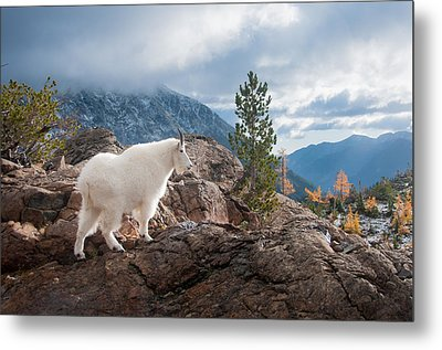 Metal Print featuring the photograph Mountain Goat by Brian Bonham