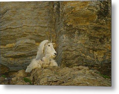 Mountain Goat Metal Print by Jeff Swan
