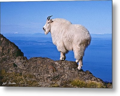 Metal Print featuring the photograph Mountain Goat On Klahane Ridge by Jeff Goulden