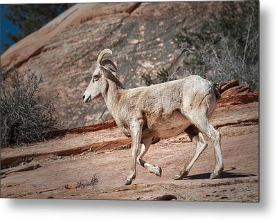 Big Horn Sheep Metal Print