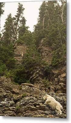 Mountain Goats In Glacier 2 Metal Print by Natural Focal Point Photography