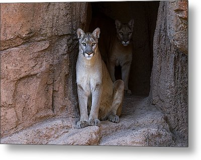 Metal Print featuring the photograph Mountain Lion 1 by Arterra Picture Library