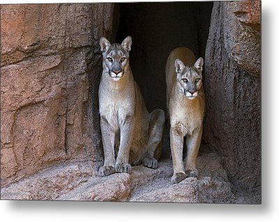 Metal Print featuring the photograph Mountain Lion 2 by Arterra Picture Library
