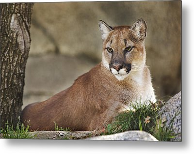 Metal Print featuring the photograph Mountain Lion  by Brian Cross