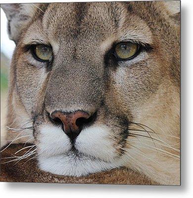 Mountain Lion Portrait 2 Metal Print