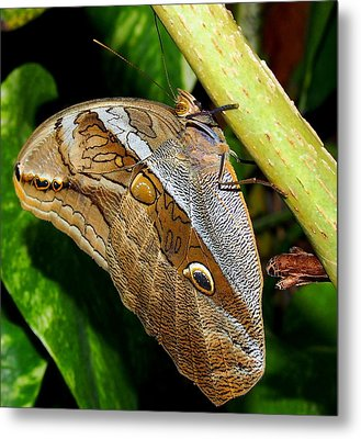 Metal Print featuring the photograph Mournful Owl Butterfly by Amy McDaniel