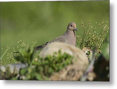 Mourning Dove 1 Metal Print