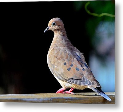 Mourning Dove Metal Print by Kathy Eickenberg