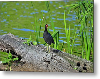 Mouthy Moorhen Metal Print by Al Powell Photography USA