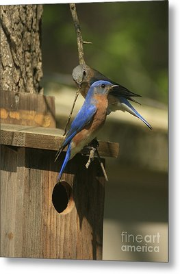 Mr. And Mrs. Bluebird Metal Print