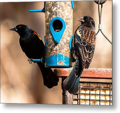 Mr. And Mrs. Red Winged Blackbird Metal Print by Robert L Jackson