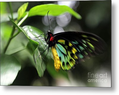 Metal Print featuring the photograph Mr. Cairns Birdwing by Mary Lou Chmura