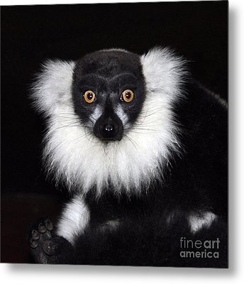 Metal Print featuring the photograph Mr Lemur by Terri Waters