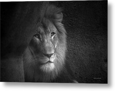 Mr Lion In Black And White Metal Print by Thomas Woolworth