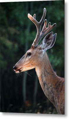 Mr. Majestic Metal Print by Rita Kay Adams