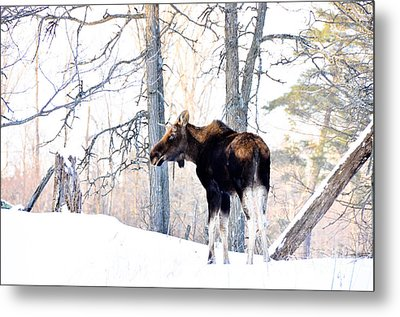 Mr. Moose Metal Print