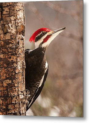 Mr. Pileated Metal Print