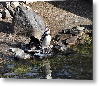 Mr Popper's Penguins Metal Print by Bill Cannon