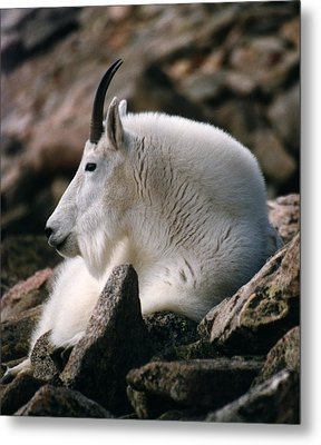 Metal Print featuring the photograph Mt Evans Mountian Goat by Robert Lozen