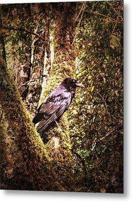 Muir Woods Raven 002 Metal Print by Lance Vaughn