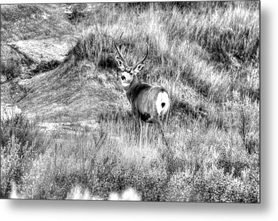 Metal Print featuring the photograph Mule Buck B/w by Kevin Bone