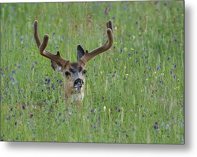 Mule Deer Buck In Wildflower Meadow Metal Print by Tom Reichner