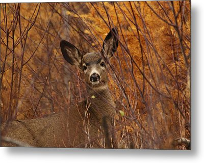 Mule Deer Doe Metal Print