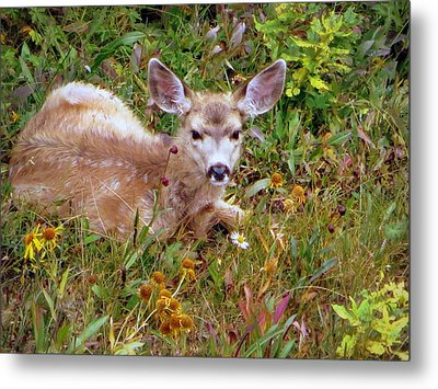 Mule Deer Fawn Metal Print by Karen Shackles