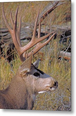 Mule Deer Metal Print by Lynn Sprowl