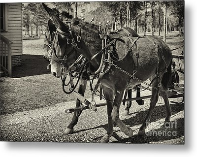Mules In Harness Metal Print by Russell Christie
