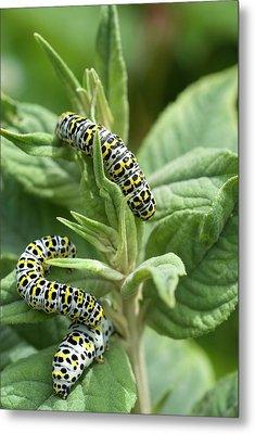Mullein Moth Caterpillars Metal Print by David Aubrey