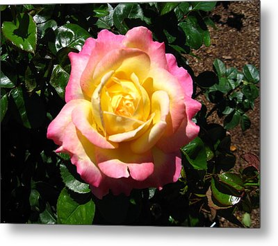 Metal Print featuring the photograph Multicolor Rose by Bill Woodstock