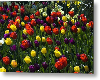 Multicolored Tulips At Tulip Festival. Metal Print by Yulia Kazansky