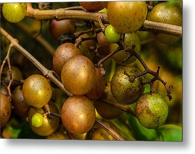 Muscadine Grapes Metal Print by John Harding