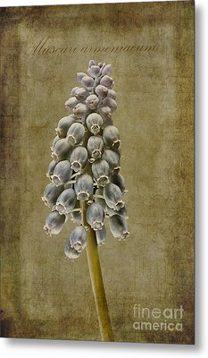 Muscari Armeniacum With Textures Metal Print by John Edwards