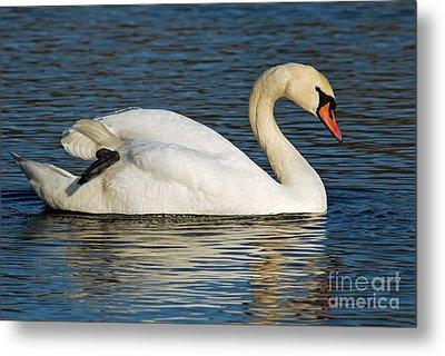 Mute Swan Resting Metal Print by Olivia Hardwicke