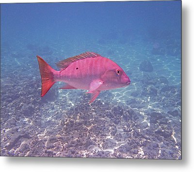 Mutton Snapper Profile Metal Print by Carey Chen