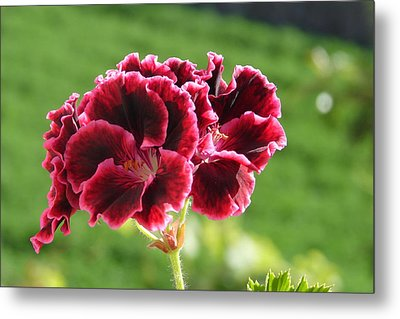 Metal Print featuring the photograph My Edges Are Pink by Lew Davis