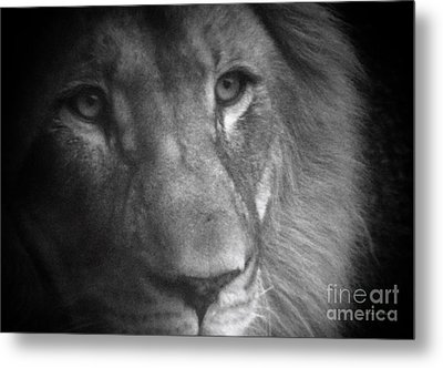 My Lion Eyes Metal Print by Thomas Woolworth